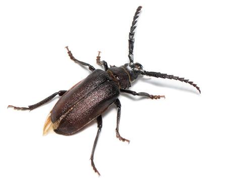 vermin: Prionus coriarius, Sawing Beetle. female Stock Photo