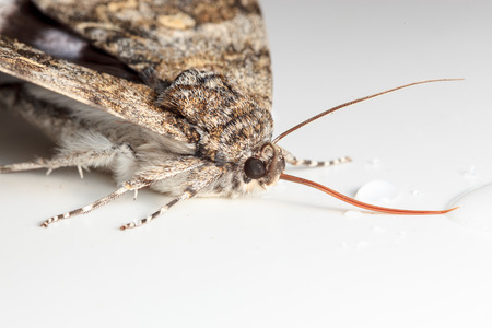 underwing: Catocala fraxini, Blue underwing. Butterfly Stock Photo