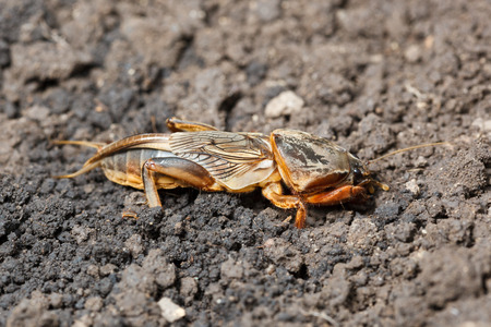 European mole cricket