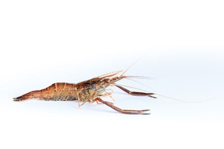 introduced: Macrobrachium nipponense, Shrimp. Introduced species Denisovo, Ryazan region, Pronsky area. Russia