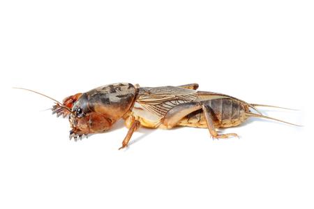 mole: European mole cricket