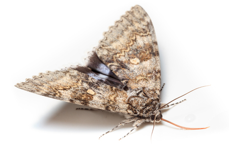 catocala: Catocala fraxini, Blue underwing. Butterfly Stock Photo