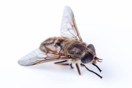 insecta: Tabanus bovinus, Pale giant horse-fly.  Denisovo. Ryazan region, Pronsky area. Russia.
