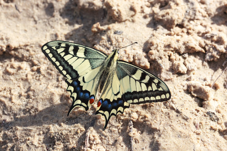 old world: Butterfly. Papilio machaon, Old World Swallowtail.