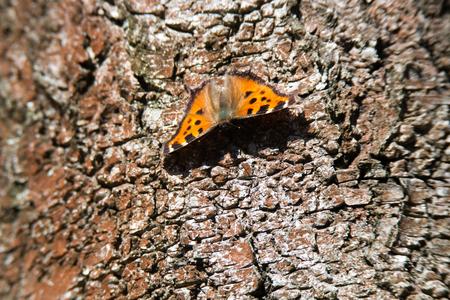imago: Nymphalis vaualbum, Compton Tortoiseshell Butterfly