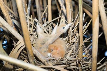 ardeidae: Ixobrychus minutus. The nest of the Little Bittern in nature.  Russia. Russia, the Ryazan region (Ryazanskaya oblast), the Pronsky District.