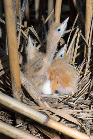 bittern: Ixobrychus minutus. The nest of the Little Bittern in nature.  Russia. Russia, the Ryazan region (Ryazanskaya oblast), the Pronsky District.