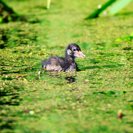 juveniles: Moorhen (Gallinula chloropus).  Russia,  Moscow, Botanical Garden of the Russian Academy of Sciences.