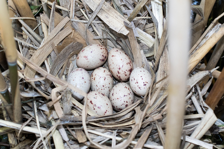 moorhen: Gallinula chloropus. The nest of the Moorhen in nature.  Russia. Russia, the Ryazan region (Ryazanskaya oblast), the Pronsky District.