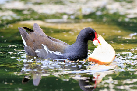 gruiformes: Moorhen (Gallinula chloropus).  Russia,  Moscow, Botanical Garden of the Russian Academy of Sciences.