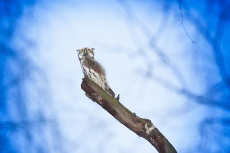 laughable: Pygmy Owl (Glaucidium passerinum). Russia,  Moscow. Stock Photo