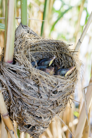 birdnest: The nest of the Great Reed Warbler in nature. Russia. Russia, the Ryazan region (Ryazanskaya oblast), the Pronsky District. Stock Photo