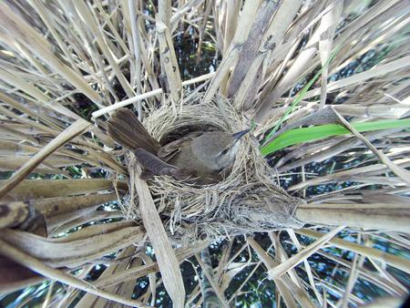 birdnest: The nest of the Great Reed Warbler in nature. Russia. Russia, the Ryazan region (Ryazanskaya oblast), the Pronsky District. Stock Photo