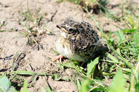 fledgling: Skylark (Alauda arvensis). Russia. Russia, the Ryazan region (Ryazanskaya oblast), the Pronsky District. Stock Photo