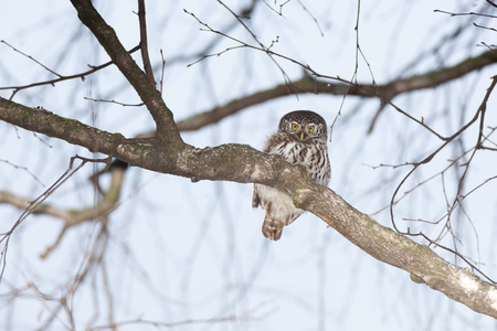 ludicrous: Pygmy Owl (Glaucidium passerinum). Russia,  Moscow. Stock Photo