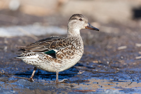 gamebird: Common Teal (Anas crecca). Wild bird in a natural habitat. Wildlife Photography.