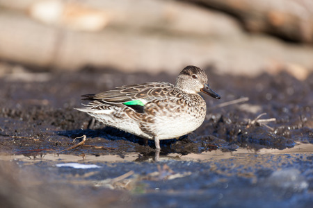 anatidae: Common Teal (Anas crecca). Wild bird in a natural habitat. Wildlife Photography.