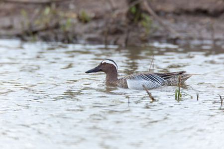 gamebird: Garganey (Anas querquedula). Russia. Russia, the Ryazan region (Ryazanskaya oblast), the Pronsky District.