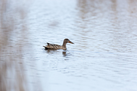 waterfowl: Northern Shoveler (Anas clypeata). Moscow region, Russia Stock Photo