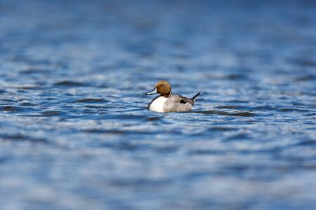 gamebird: Northern Pintail (Anas acuta). Russia, Moscow, Timirjazevsky park. Stock Photo