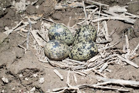 lapwing: Vanellus vanellus. The nest of the Lapwing in nature. Stock Photo
