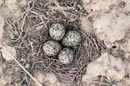 birdnest: Vanellus vanellus. The nest of the Lapwing in nature. Stock Photo