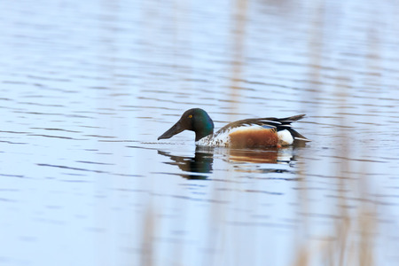gamebird: Northern Shoveler (Anas clypeata). Moscow region, Russia Stock Photo