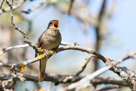 bird nightingale: Thrush Nightingale (Luscinia luscinia). The bird perching on a branch of the tree. A singing bird. Singing male.