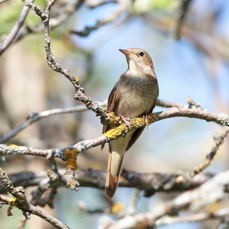 turdidae: Thrush Nightingale (Luscinia luscinia). The bird perching on a branch of the tree. Stock Photo