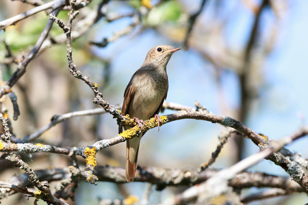 thrush: Thrush Nightingale (Luscinia luscinia). The bird perching on a branch of the tree. Stock Photo