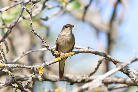 ruiseñor: Ruiseñor (Luscinia Luscinia). El pájaro posado en una rama del árbol.