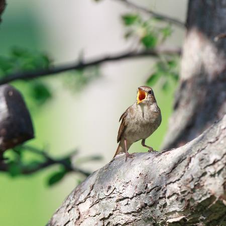 ruiseñor: Thrush Nightingale (Luscinia luscinia). The bird perching on a branch of the tree. A singing bird. Singing male.