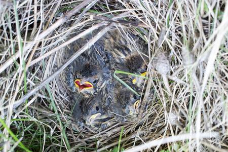 birdnest: Emberiza schoeniclus, Schoeniclus schoeniclus. The nest of the Reed Bunting in nature. Russia. Russia, the Ryazan region (Ryazanskaya oblast), the Pronsky District.
