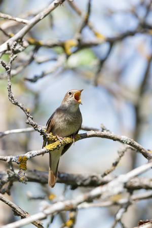 ruiseñor: Ruiseñor (Luscinia Luscinia). El pájaro posado en una rama del árbol. Un pájaro que canta. Cantando masculina.