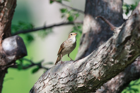 ruise�or: Thrush Nightingale (Luscinia luscinia). The bird perching on a branch of the tree. Foto de archivo