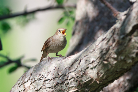 ruise�or: Thrush Nightingale (Luscinia luscinia). The bird perching on a branch of the tree. A singing bird. Singing male.