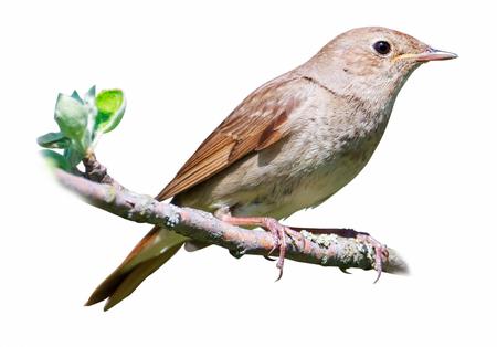 bird nightingale: Thrush Nightingale (Luscinia luscinia). The bird perching on a branch of the tree.  Isolated On White Stock Photo