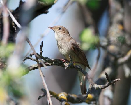 perching: Thrush Nightingale (Luscinia luscinia). The bird perching on a branch of the tree. Stock Photo
