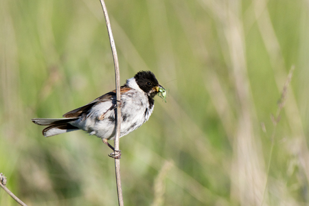 textspace: Reed Bunting (Emberiza schoeniclus, Schoeniclus schoeniclus). Russia, the Ryazan region (Ryazanskaya oblast), the Pronsky District.