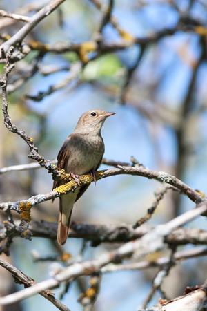 bird nightingale: Thrush Nightingale (Luscinia luscinia). The bird perching on a branch of the tree. Stock Photo