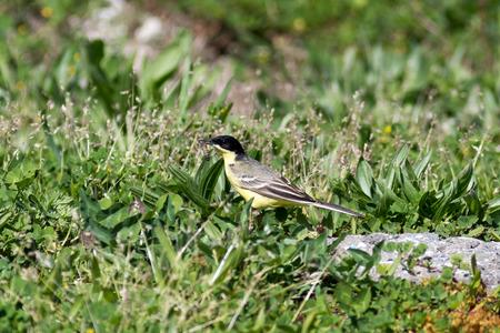 motacilla: Black-headed Wagtail (Motacilla feldegg, Motacilla flava feldegg). Russia, Sochi (Adler).