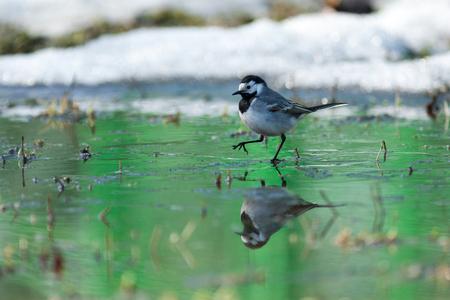 motacilla: Lavandera blanca (Motacilla alba) en la naturaleza. Rusia.
