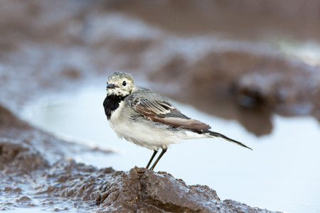 motacilla: White Wagtail (Motacilla alba) in Nature. Russia.