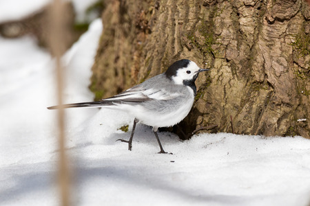 intensely: White Wagtail (Motacilla alba) in Nature. Russia.