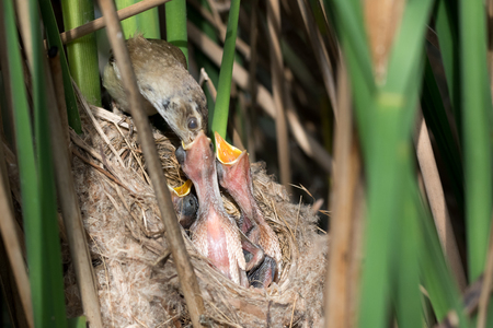 The nest of the Paddyfield Warbler in nature.  Russia, the Ryazan region (Ryazanskaya oblast), the Pronsky District. Nowomitschurinsk. Stock Photo