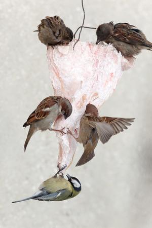 Birdfeeder. Great Tit (Parus major) Stock Photo