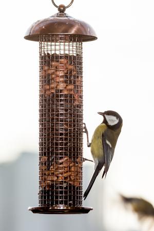 parus major: Birdfeeder. Great Tit (Parus major) Stock Photo