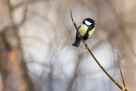 great tit: Timirjazevsky park, Moscow. Russia. Great Tit (Parus major).