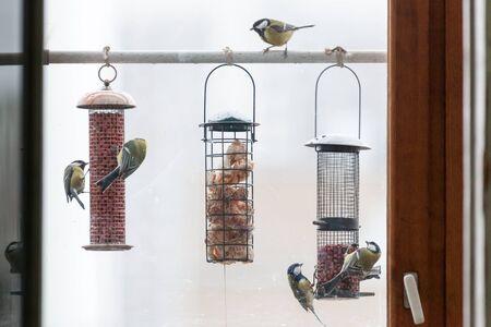 Vogelfütterer. Great Tit (Parus major)