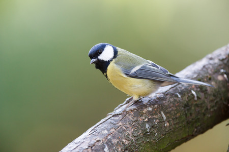 Timirjazevsky park, Moscow. Russia. Great Tit (Parus major).